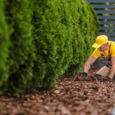 Bark Chips Under Garden Trees. Caucasian Gardener at Work.