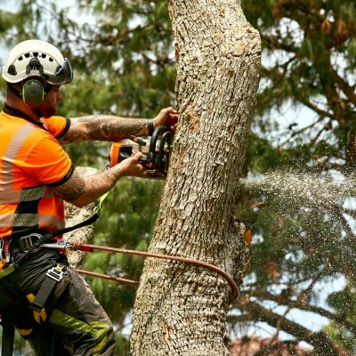professional tree looper in the middle of the tree lopping